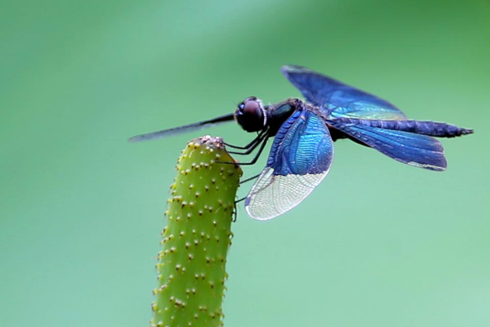 A Dragonfly On A Lotus