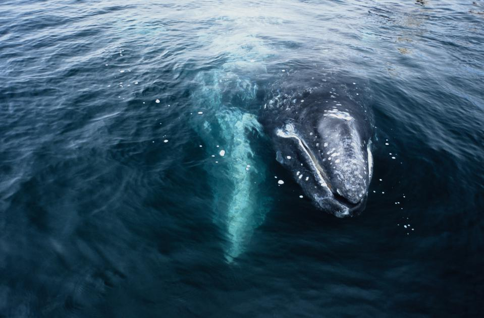 grey whale, eschrichtius robustus, mother & calf, magdalena bay