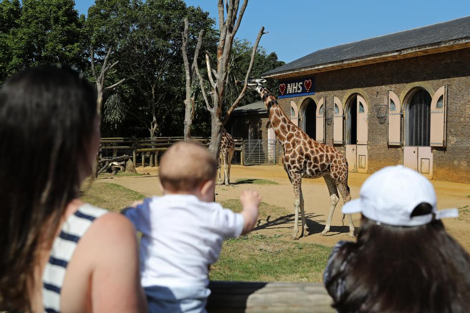 Visitors at London Zoo watch giraffes that have a sign in their enclosure to pay tribute to NHS workers, as UK zoos reopen to the public on June 15, 2020