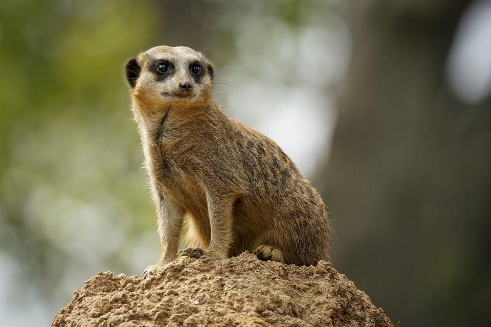 A meerkat looks on as visitors arrive at Chester Zoo, as UK Zoos reopen to the public on June 15, 2020