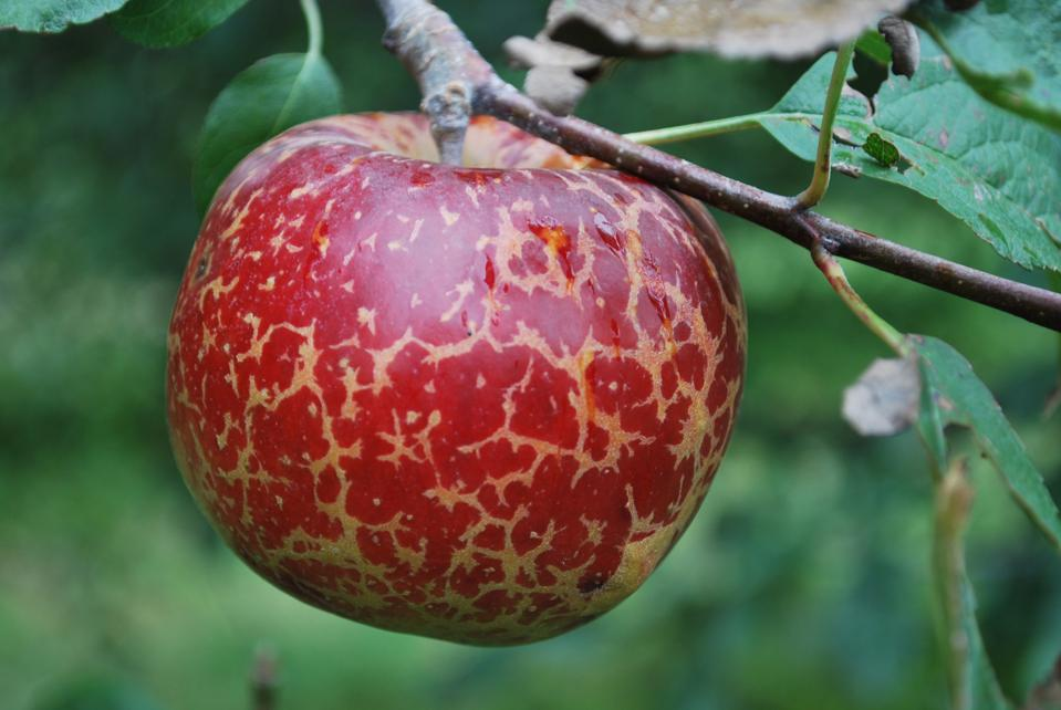 An Organically Grown Liberty Apple
