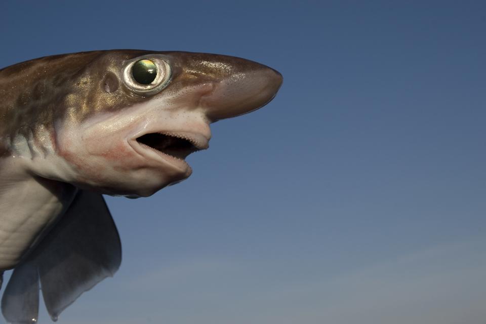 Head of Blackmouth catshark against blue sky.