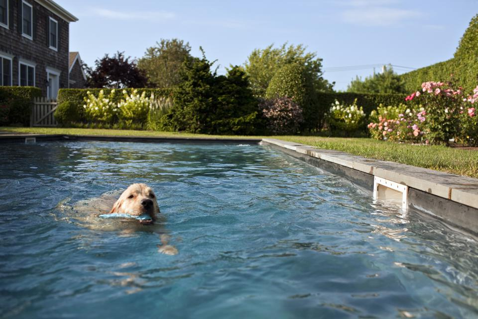 Golden Retriever swimming in a pool.