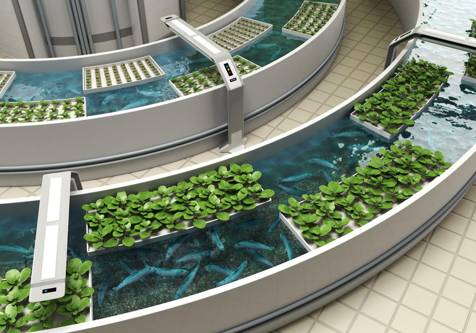 Aquaponics system in which fish and vegetables grow together. Combining aquaculture and hydroponics.