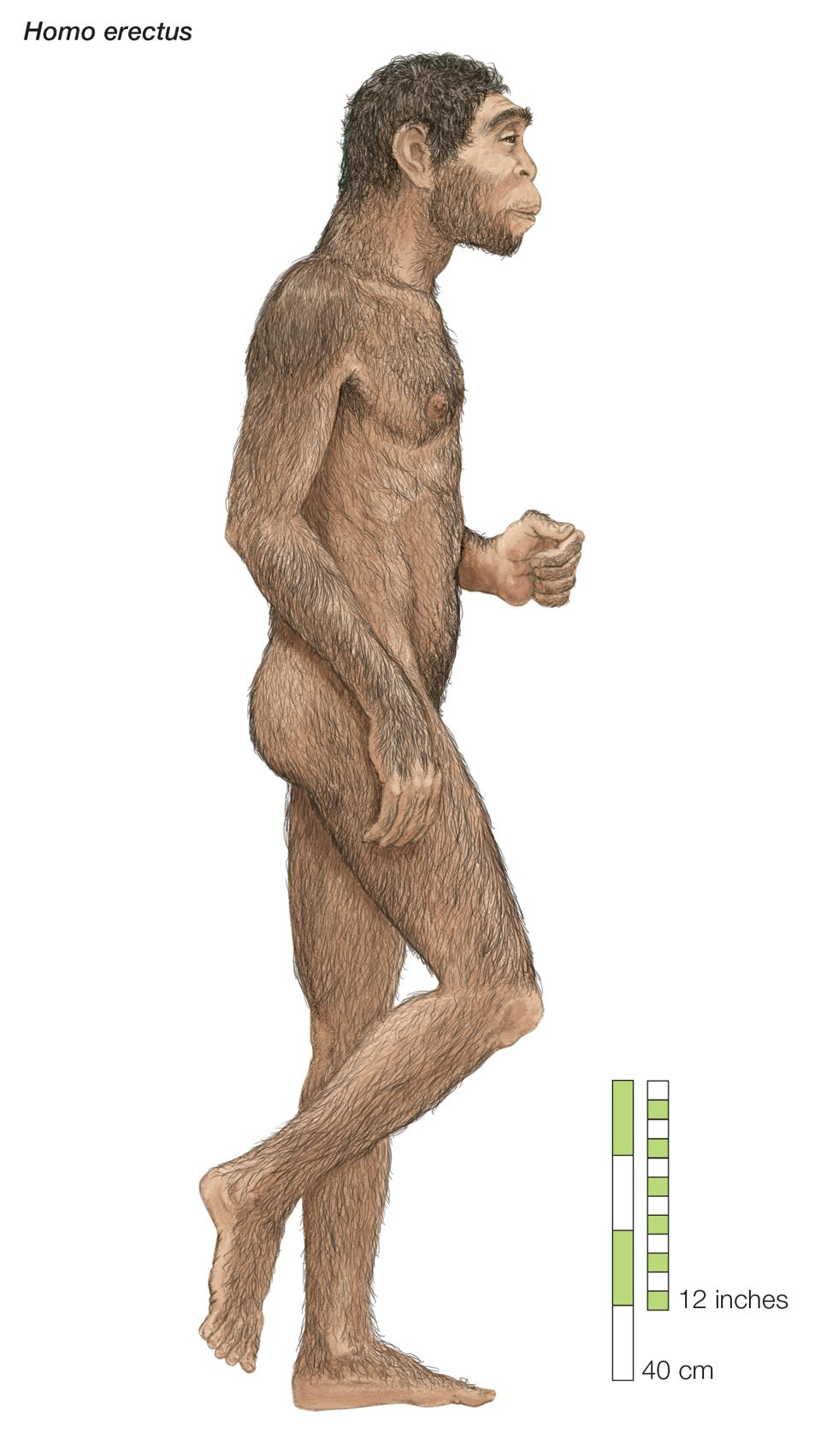 Homo Erectus, ″Upright Man,″ Which Lived From Approximately 1,700,000 To 200,000 Years Ago.
