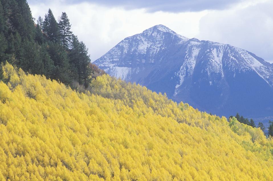 Trees in Autumn, Aspen, Colorado