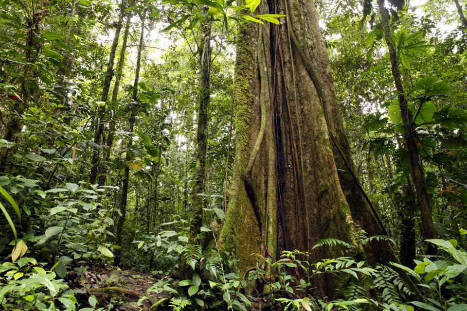 Large tree trunk in tropical rainforest