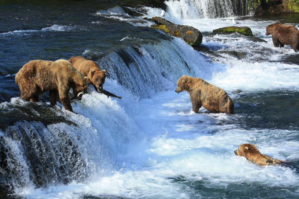 Brown bears catching salmon