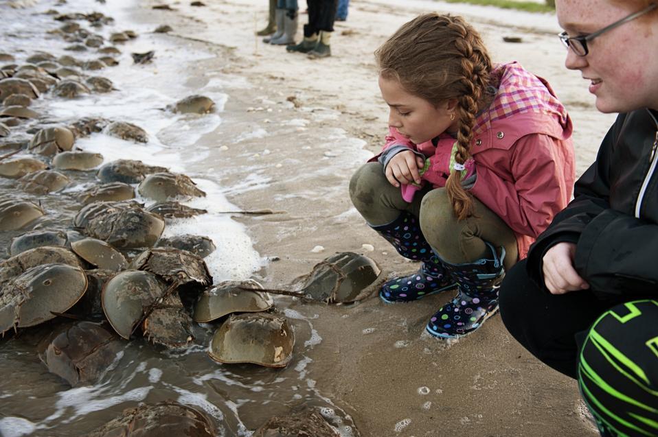 Horseshoe crabs descend on the Delaware Bay shoreline to spawn.