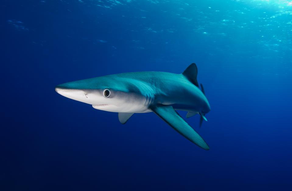 Blue shark swimming in the open water.