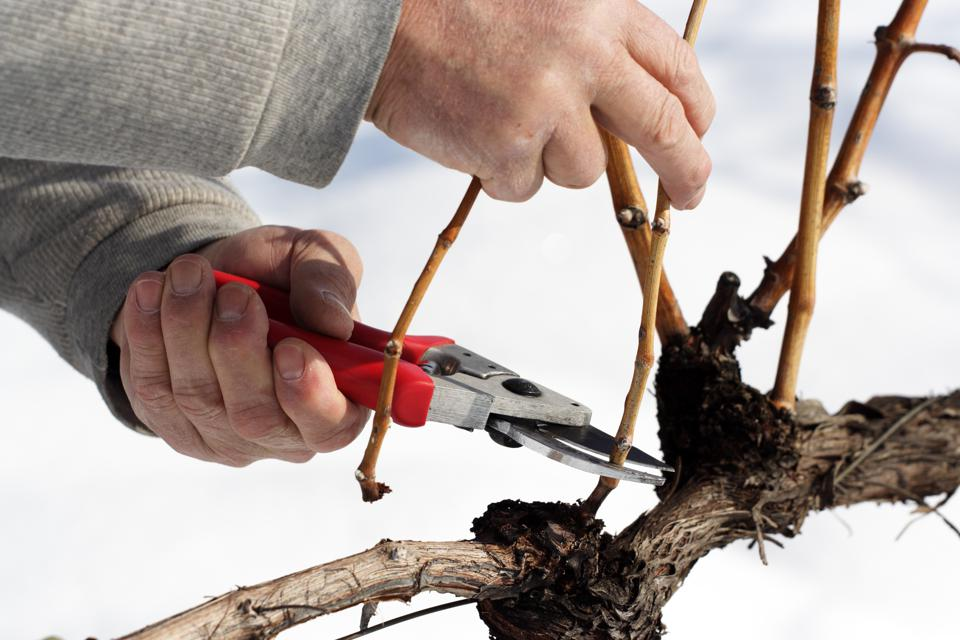 Pruning the grape vines