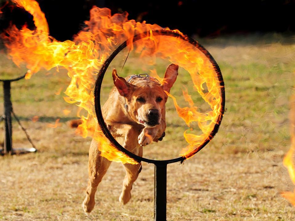 Dog jumping through a hoop of fire.