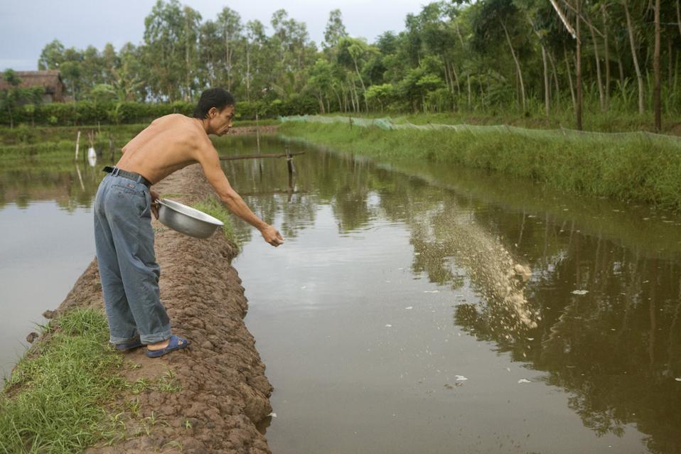 Vietnamese farmer Nguyen Van Truyen, 45, feeds shrimp