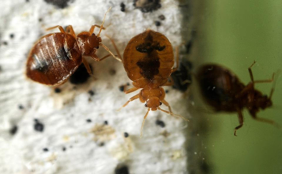 These bedbugs are about the size of a capital ″O″ in this caption.