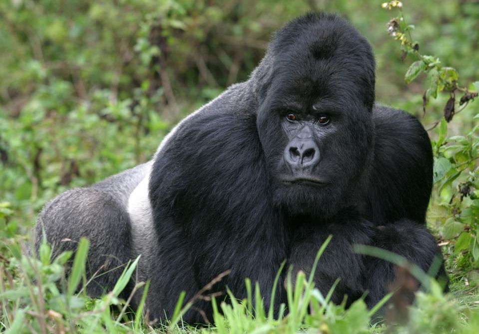Silverback gorilla lying in lush green vegetation