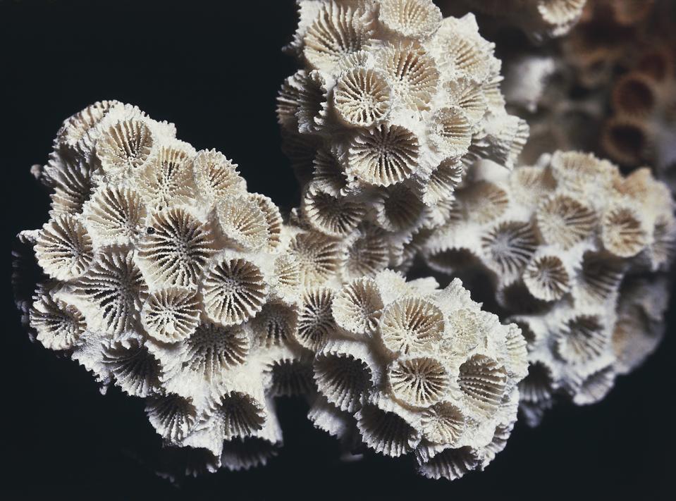 Astrangia lineata fossil, Hexacorallia