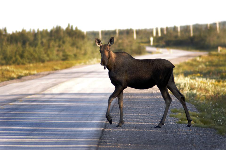 Moose Road Hazard