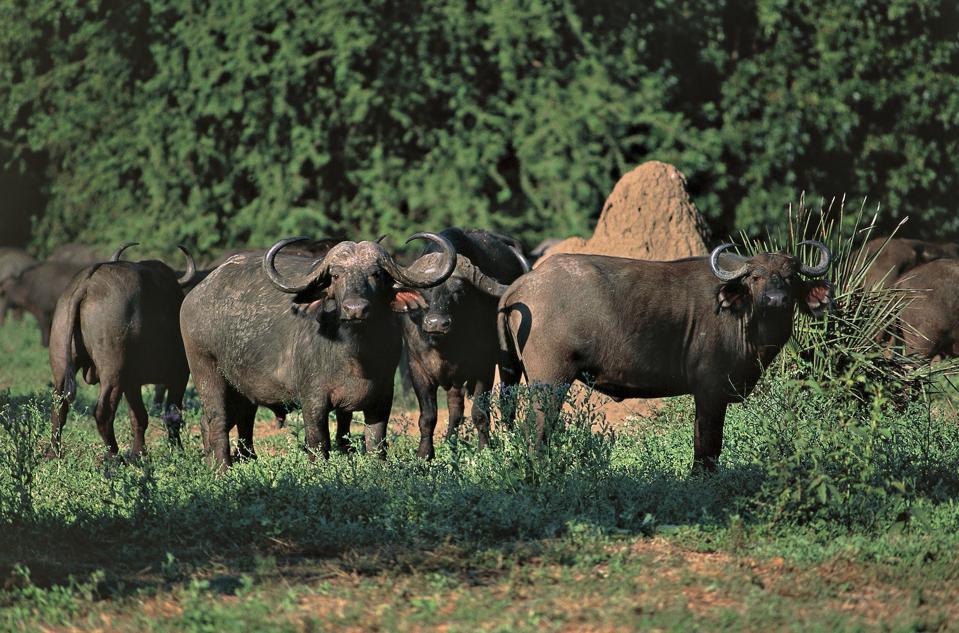 African Buffalo (Syncerus caffer)...