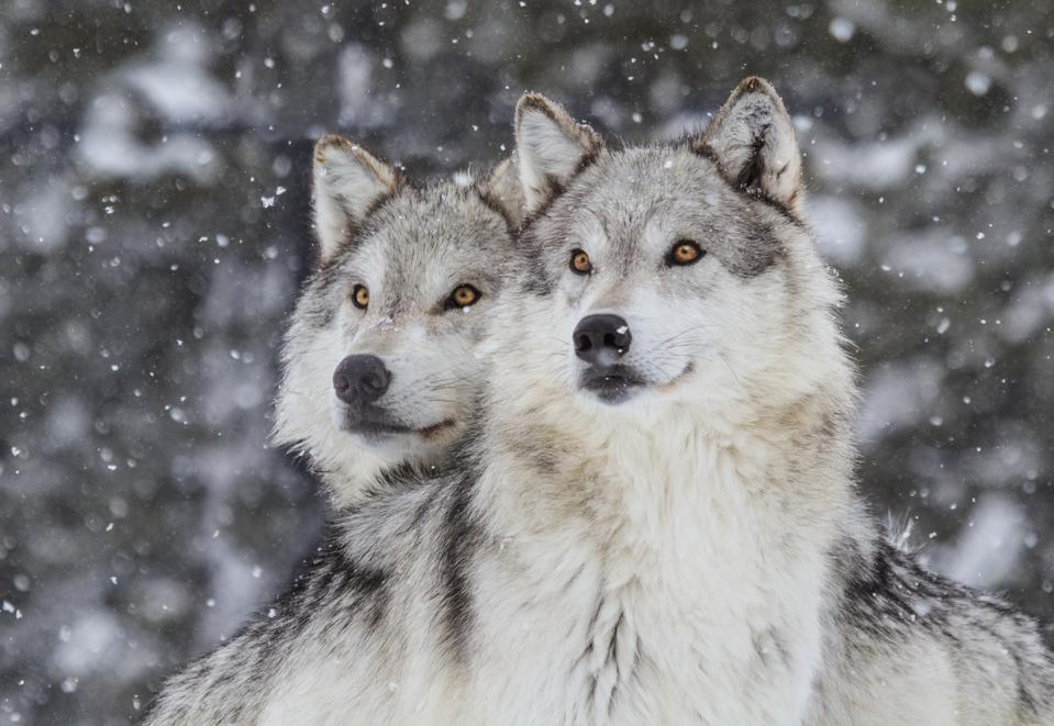 A Pack Of Wolves Was Spotted In Colorado For The First Time In 90 Years
