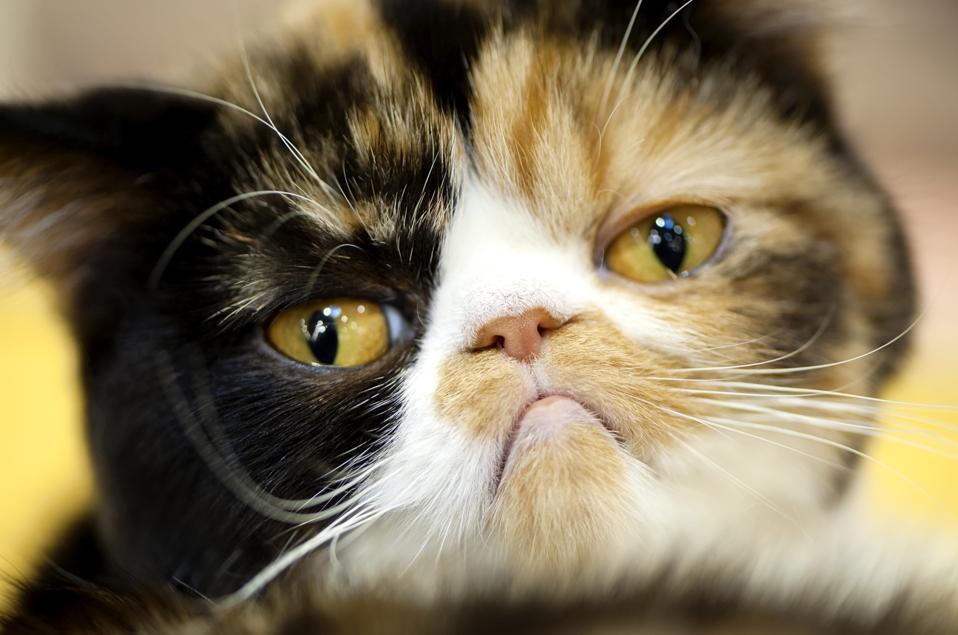 A grumpy cat just being grumpy.