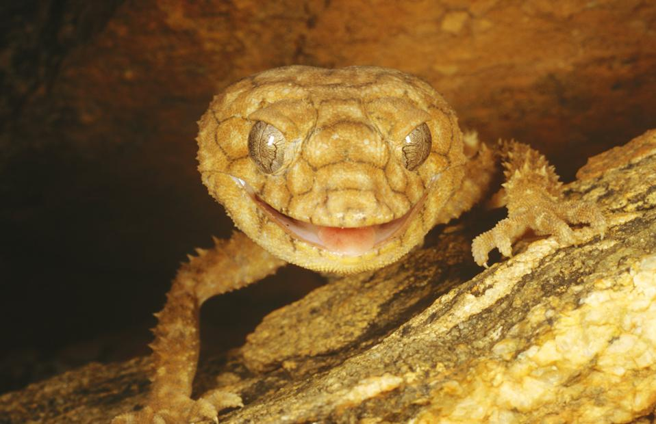 Central rough knob tail, Nephrurus amyae, close-up, grinning at camera, Alice Springs, Northern Territory, Australia
