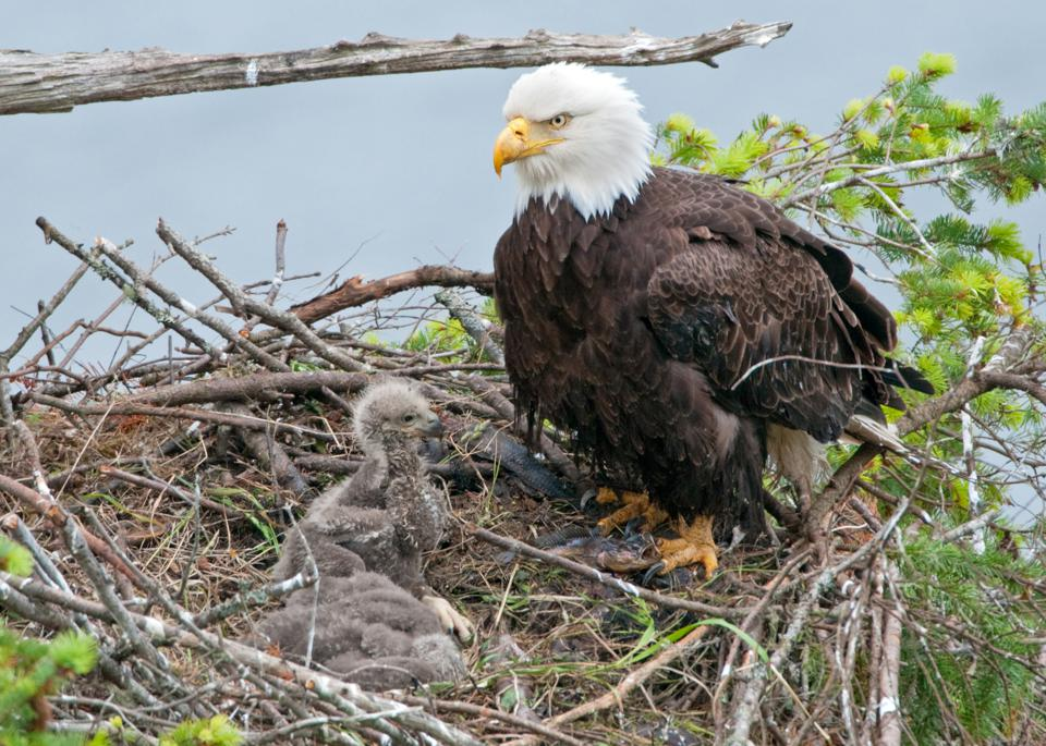 Bald Eagle Nest with 2 Chicks - 3 Weeks Old