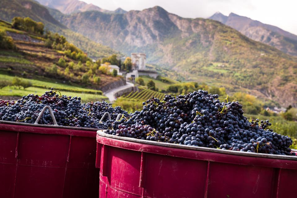 Harvesting Grape in Vineyard