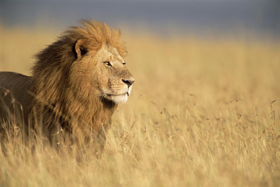 Male lion (Panthera leo) standing in long grass, side view