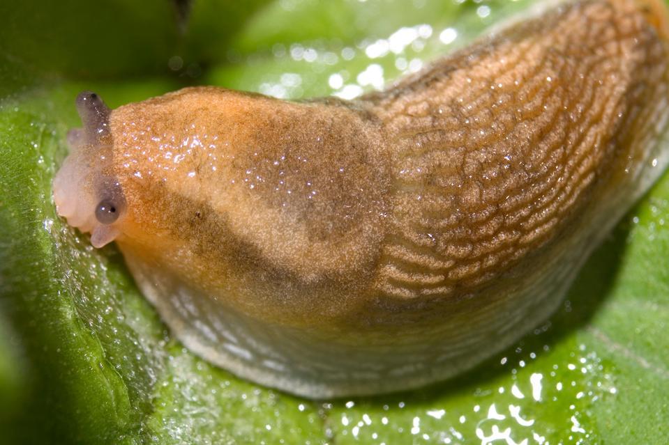 Slug Slime Inspires Sticky Surgical Adhesive