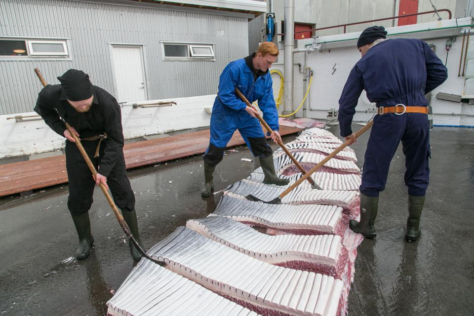 Operations At The World's Only Commercial Whaling Station