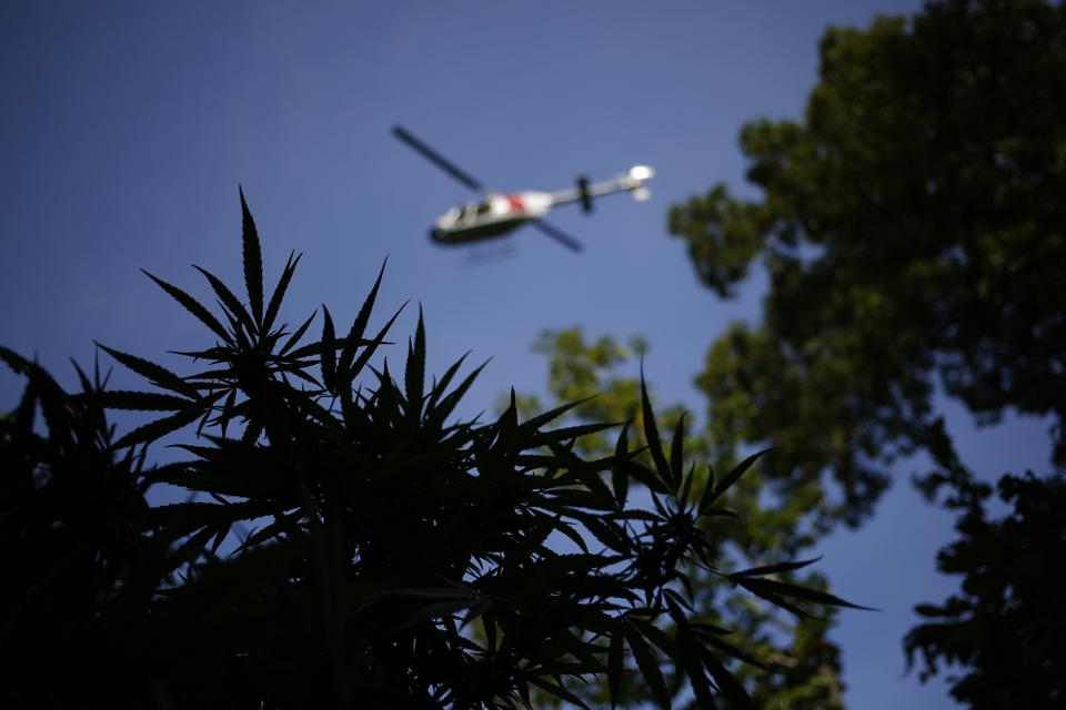 A spotting helicopter flown by law enforcement officials circles above a patch of illegal marijuana plants