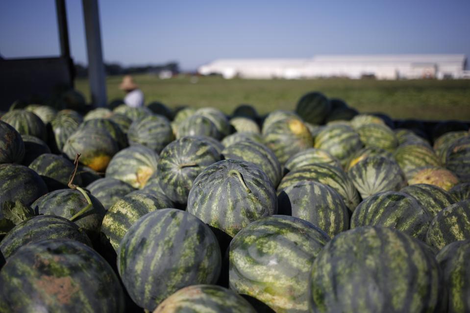 Watermelon Harvest