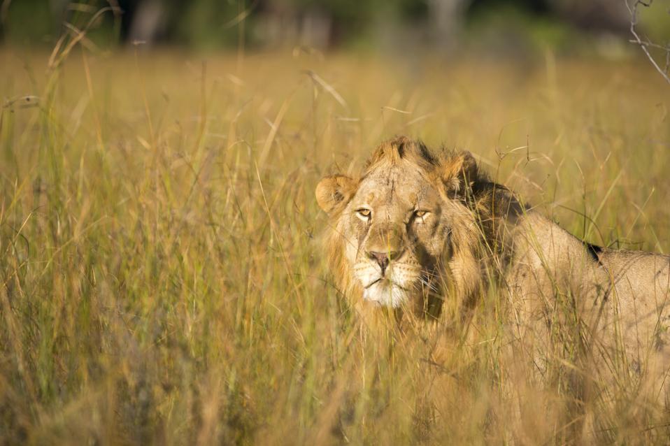 Mies leijona (Panthera leo), joka vaeltaa ruohon läpi ...