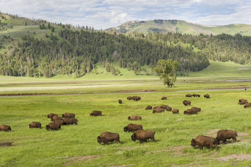 USA, Wyoming, Yellowstone National Park, Lamar Valley, Bison...