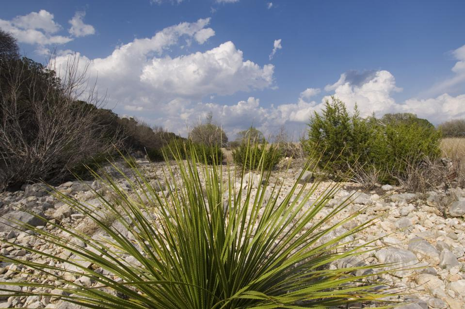 USA, Texas, Hill Country Near Hunt, Sotol Plant, Dasylirion...