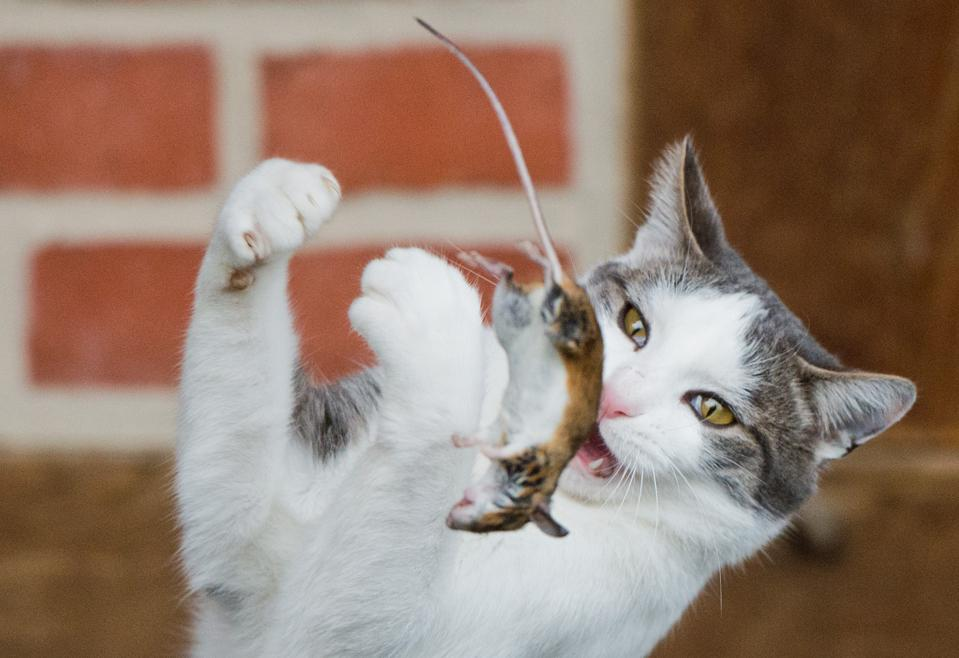 Cats, Rats, Implicated In Staggering Number Of Recent Extinctions