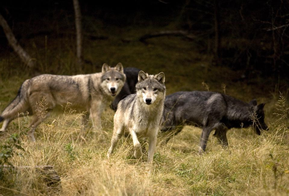 Curious Wolf Pack