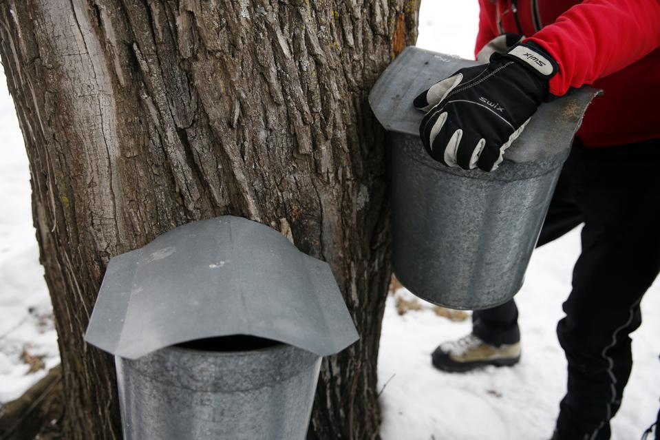 Climate Change Is Ruining Maple Syrup By Making It Less Sweet And Affecting When We Tap It