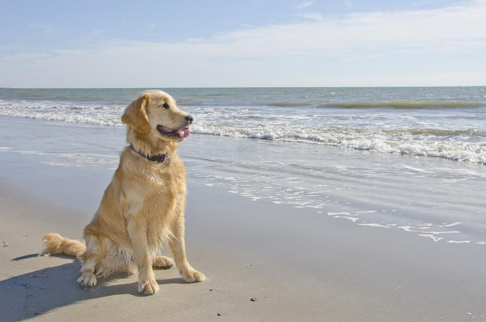 Golden Retriever Puppy sa Beach