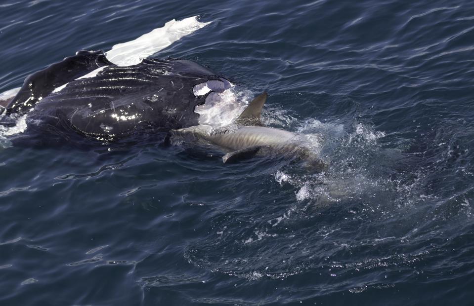Shark eating whale