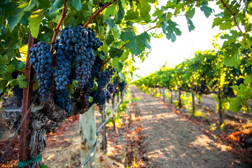 Napa Valley grape cluster