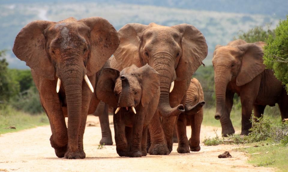 Herd of Elephant from South Africa