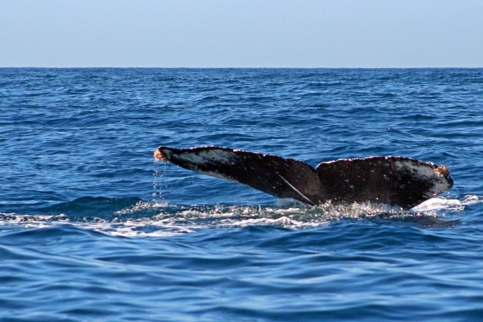 Gray Whale Tail/Fluke in the Pacific Ocean off the coast of Mexico