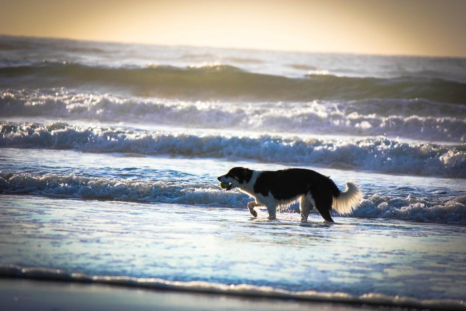 Beach Dog in Wildwood