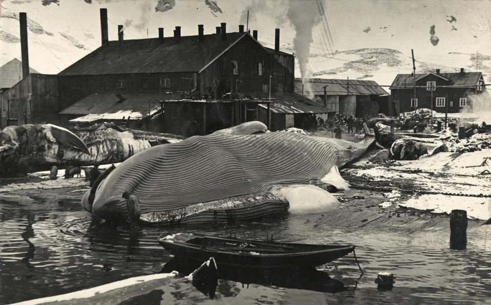 A deceased whale on the flensing plan at Grytviken, South Georgia.