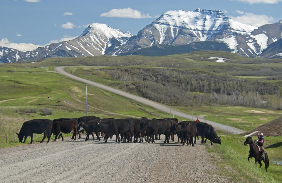Spring cattle drive in the shadow of the Rocky Mountains with rancher ready to throw his lasso