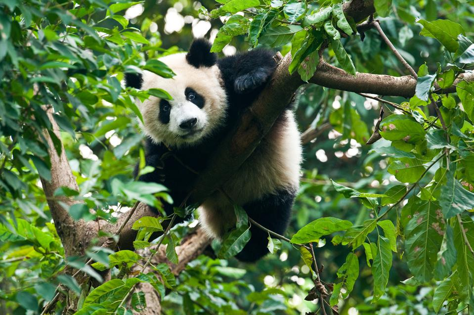 Giant panda bear in tree