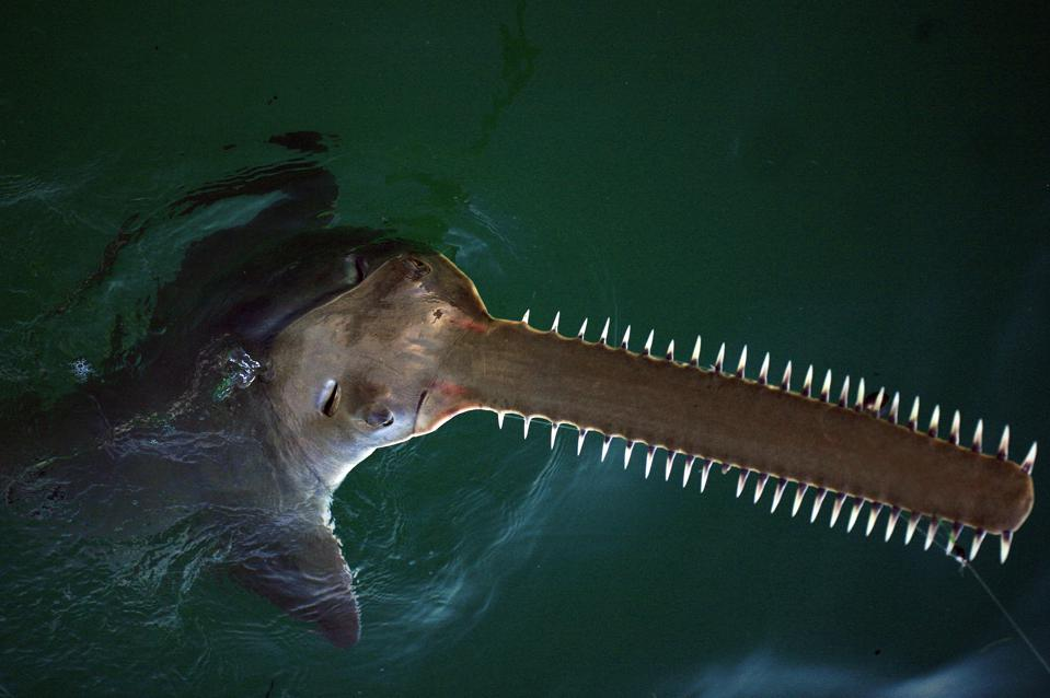 Sawfish caught on a line in Florida.