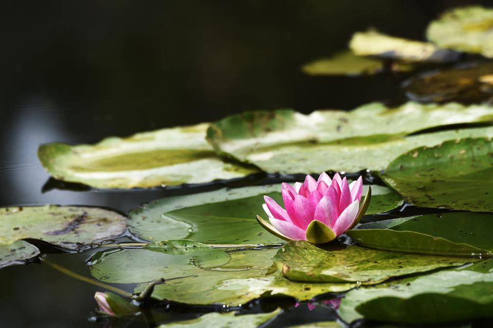 A lily pad at Claude Monet's home in Giverny