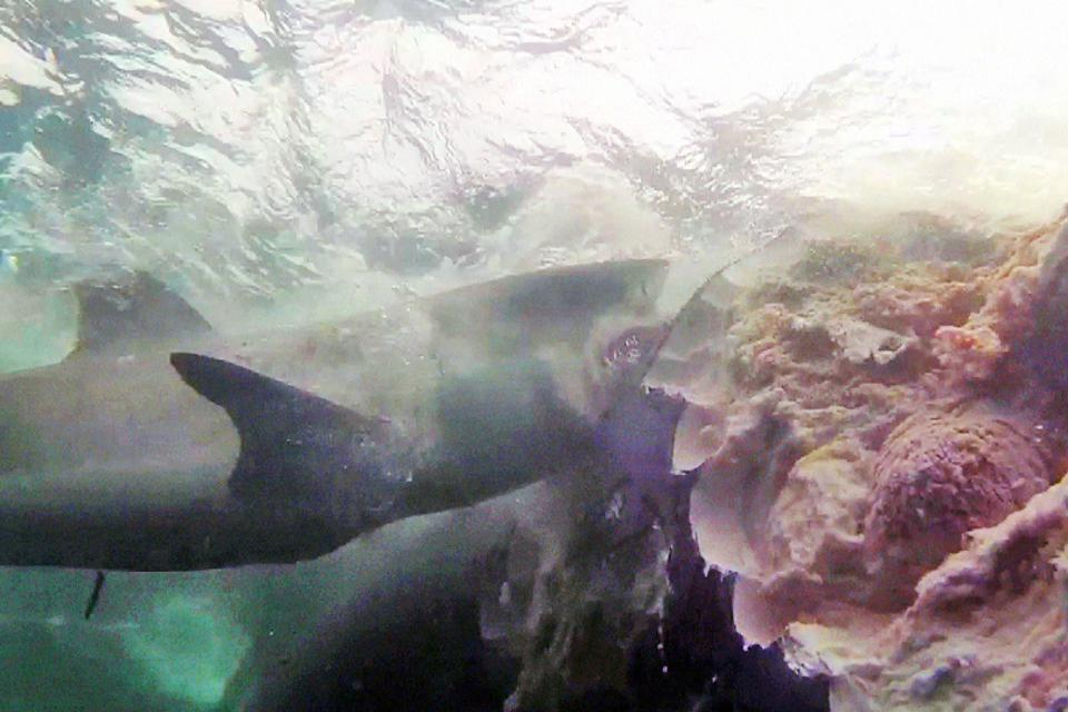 Sharks Feast On Massive Whale Carcass